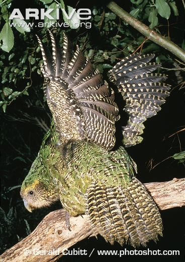 Kakapo-stretching-wings-at-night